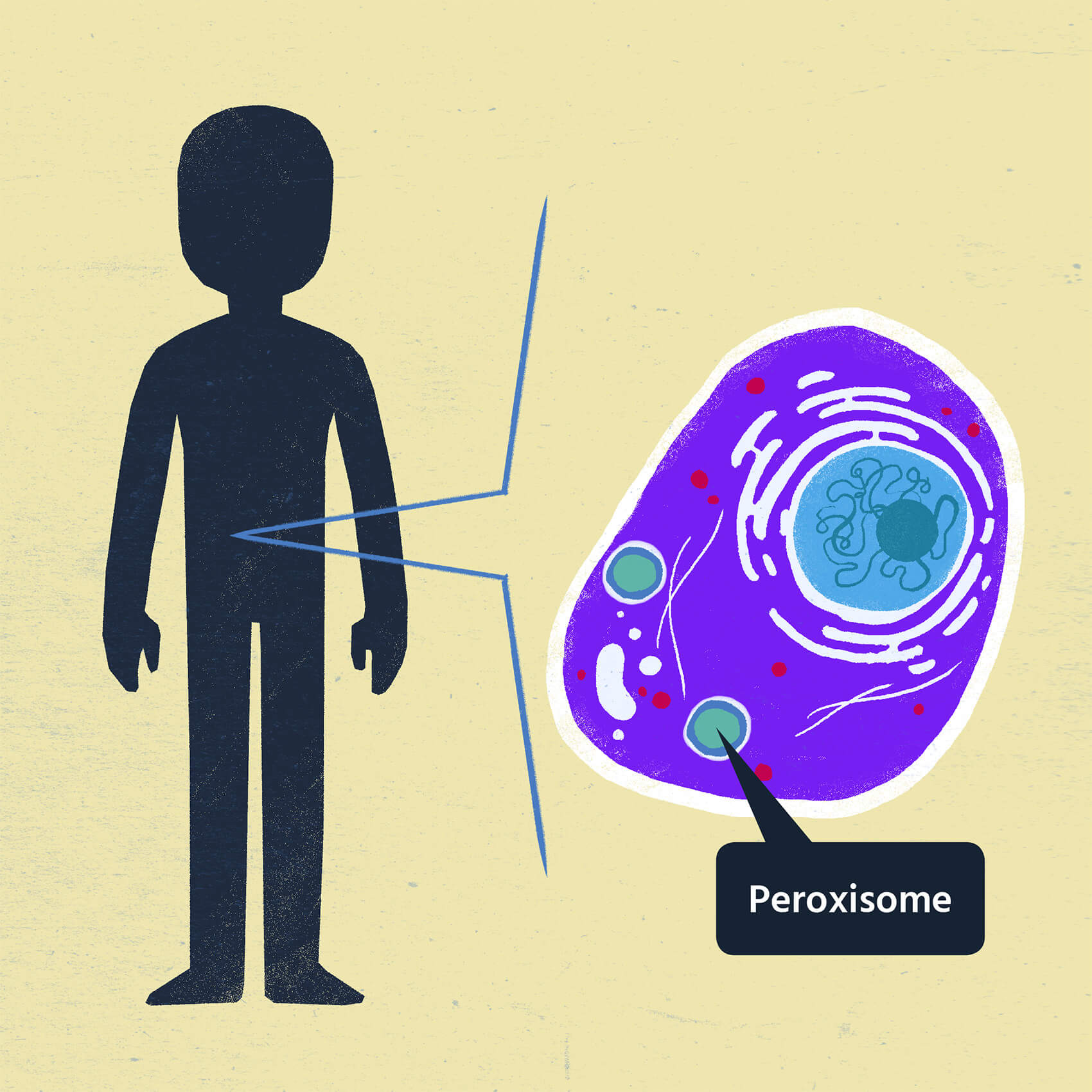 Illustration of a human cell with a focus on the peroxisome. The loss of peroxisome function causes Zellweger spectrum disorders.