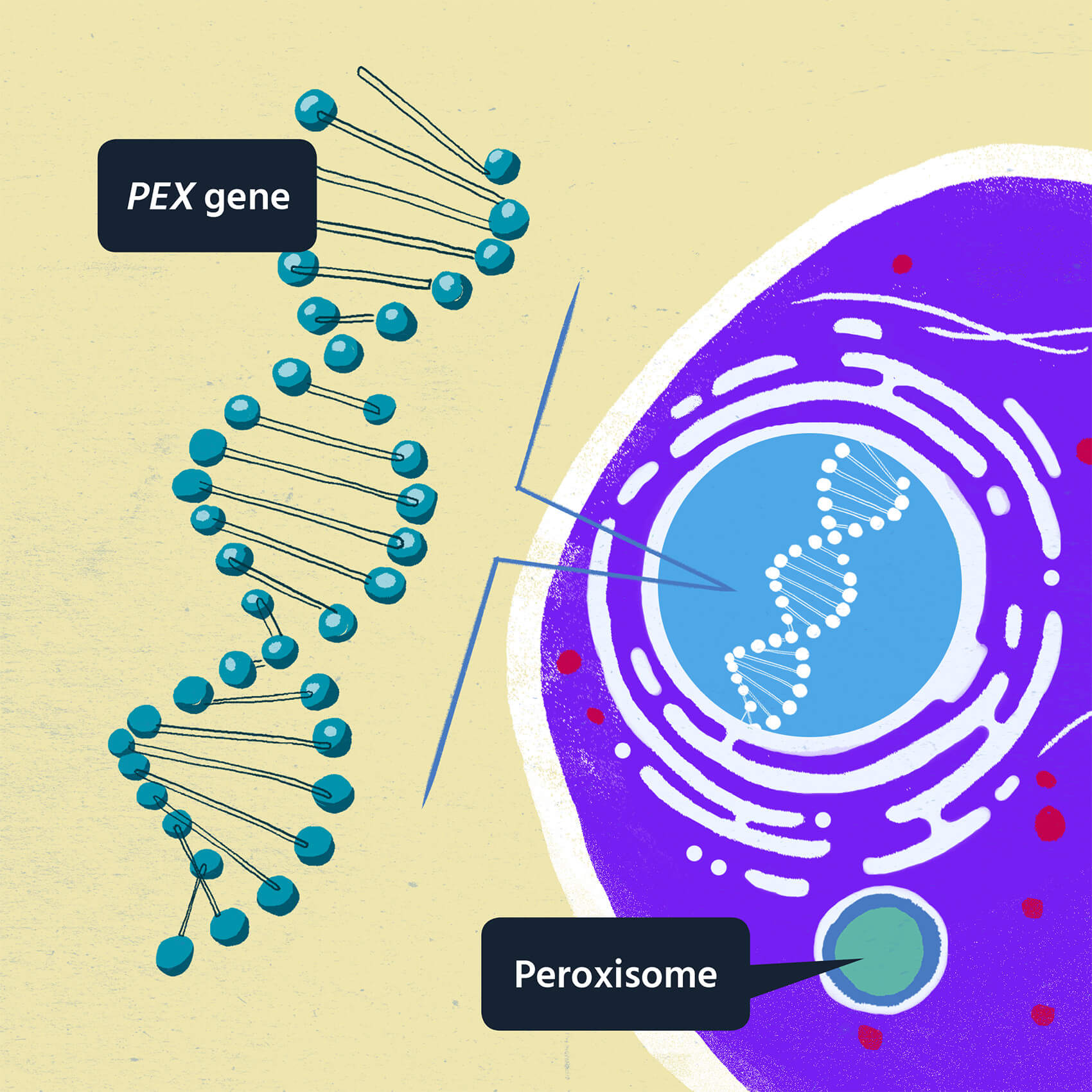 Illustration displaying normal peroxisome function.